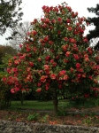 Fantastiske engelske roser